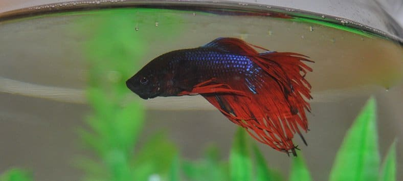 Betta fish in a fishbowl