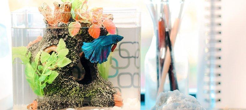 Betta in a fish tank