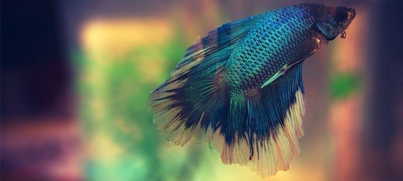 Betta fish in water