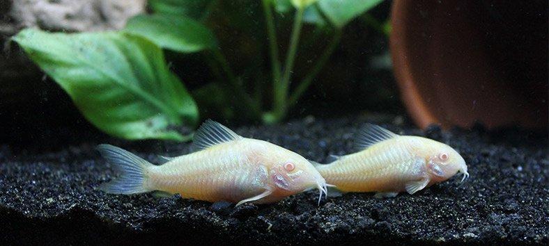 Corydoras Catfish (Corydoras Aeneus)