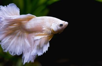 How Long Do Betta Fish Live Average Lifespan of a Betta Fish