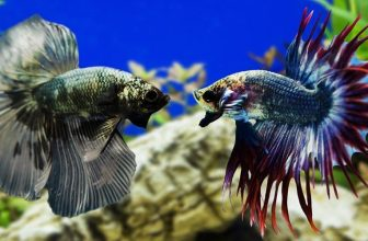 Why Do Betta Fish Fight and How to Stop Them