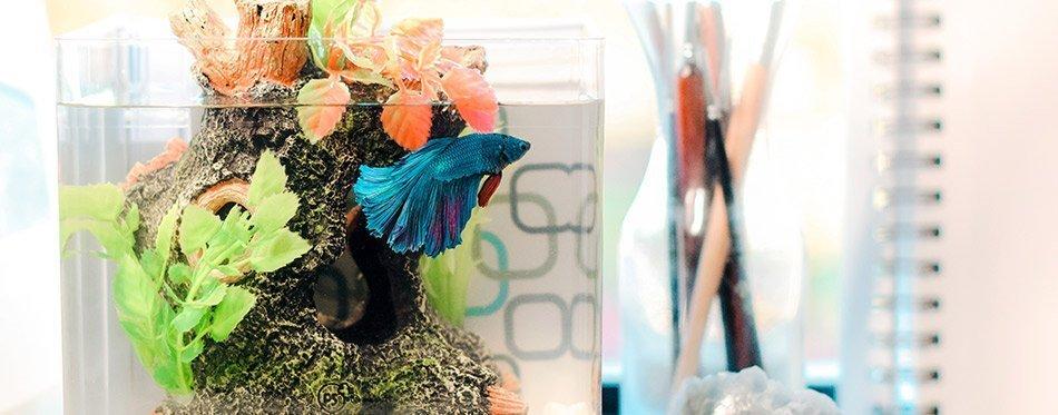 Betta in a betta fish tank