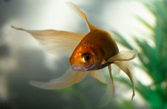 Goldfish Care Guide (for Beginners)