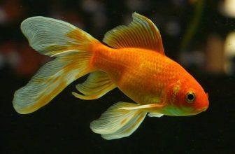 Goldfish Lifespan: How Long Do Goldfish Live?