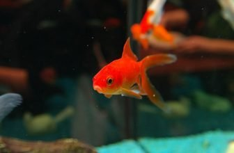 What Can I Feed My Goldfish?