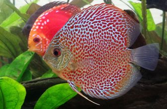 How Do Fish Mate: Everything You Need to Know