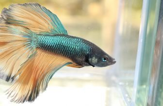 Dropsy in Fish: Causes, Symptoms and Treatment