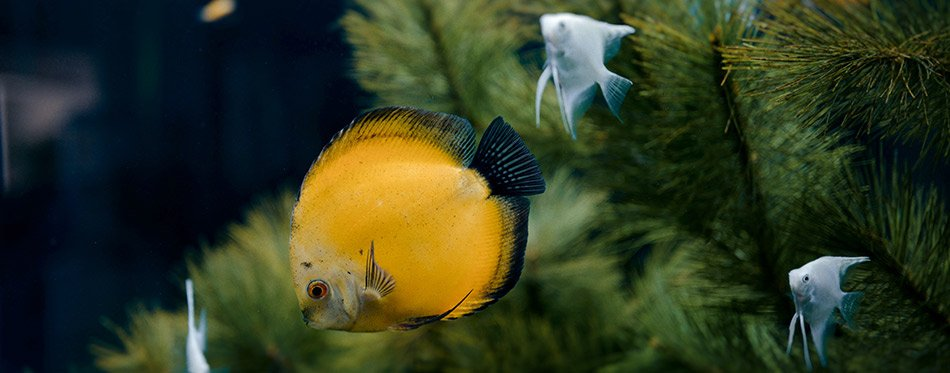 Yellow and gray fishes