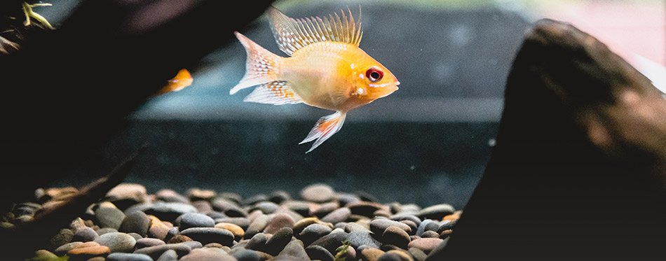 Aquarium fish and gravel
