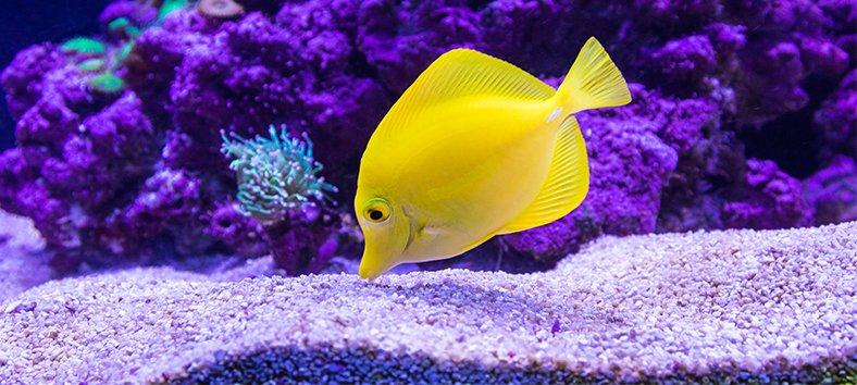 Yellow fish and aquarium gravel