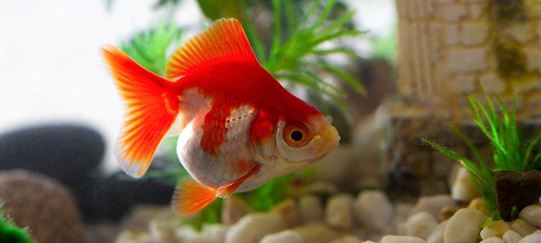Goldfish pregnant