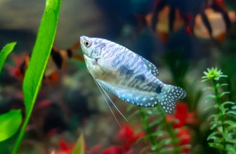 How to Care for Gourami Fish