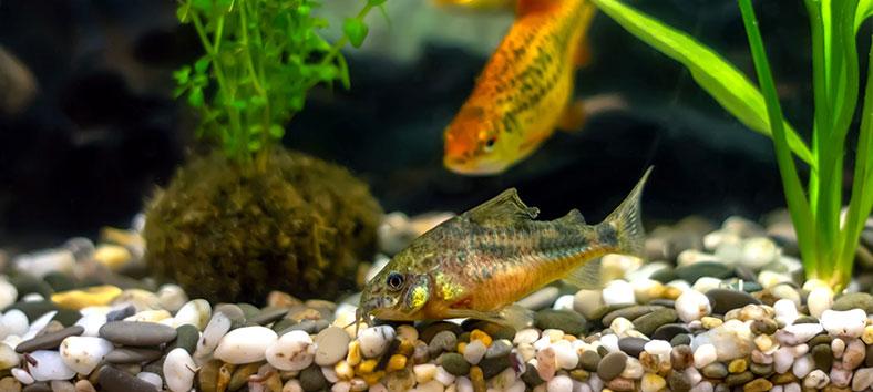 cory fish in a fish tank