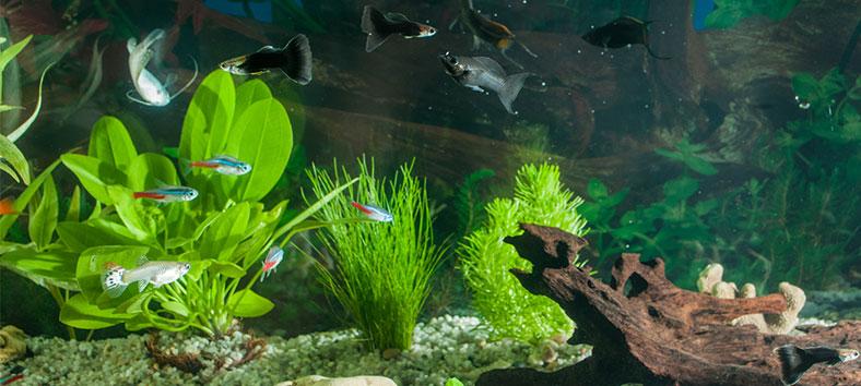 guppies in aquarium
