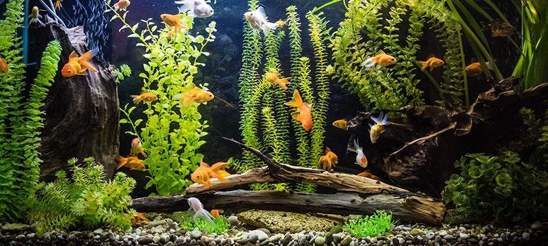 Aquarium plants and fishes